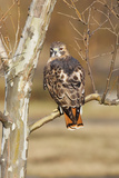 Red-Tailed Hawk Adult Papier Photo