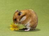 Hamster Mini Photographic Print