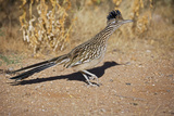 Greater Roadrunner Photographie