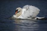Mute Swan Aggressive Display Impressão fotográfica