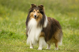 Shetland Sheepdog Photographic Print