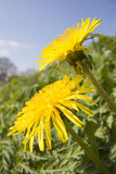 Dandelion Flowers on Roaside Verge Photographic Print