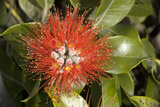New Zealand Christmas Tree, Pohutukawa in Flower Photographic Print