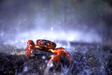 Red Crab (A Land Crab) Single on Migration Photographic Print