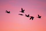 Snow Geese Flying to Roost Site at Sunset Photographic Print