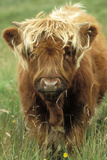 Cattle, Highland Calf Photographic Print