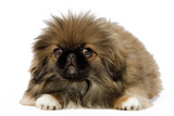 Pekingese Puppy in Studio Photographic Print