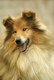 Rough Collie Dog Close-Up Photographic Print