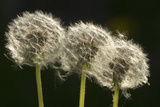 "Dandelion Seed-Heads (""Clocks') Photographic Print"