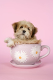 Lhasa Apso 12 Week Old Puppy in Tea Cup Photographic Print