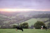 Cattle Friesian Heifers Photographic Print by Anthony Harrison