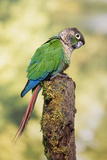 Green-Cheeked Conure Reproduction photographique