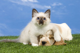 Cocker Spaniel with Cat Birman Kitten Photographic Print