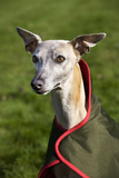 Whippet Wearing Dog Coat Photographic Print