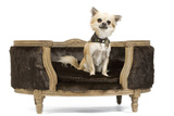 Long-Haired Chihuahua Sitting on Chair in Studio Photographic Print
