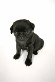 Black Pug Puppy (6 Weeks Old) Photographic Print