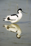Pied Avocet Resting in Water at Lake Edge Reproduction photographique