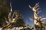 Ancient Bristlecone Pine Trees Photographic Print