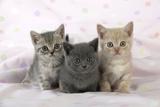 7 Week Old British Shorthair Kittens Photographic Print
