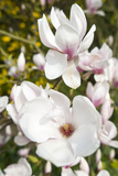 Magnolia Flowers Photographic Print