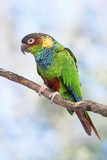 Blue-Chested Parakeet Photographie