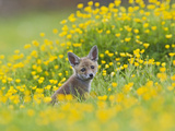 Red Fox Cub in Buttercup Meadow Photographic Print