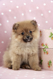 Pomeranian Puppy (10 Weeks Old) with Pink Suitcase Photographic Print