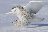 Snowy Owl in Flight Photographic Print