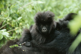 Mountain Gorilla Baby, Facing Camera Photographic Print by Adrian Warren