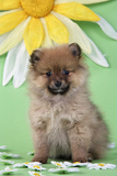 Pomeranian Puppy Infront of Sunflower (10 Weeks Old) Photographic Print