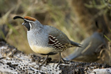 Gambel's Quail on Cholla Cactus Photographic Print