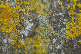 Common Marbled Carpet Camouflaged Against Lichen Photographic Print