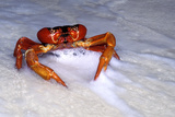 Red Crab (A Land Crab) Photographic Print