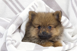 Dwarf Spitz Puppy Photographic Print