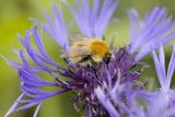 Shetland Bumblebee Photographic Print