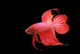 Siamese Fighting Fish Red Form Male, Full Display Photographic Print