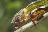 Male Panther Chameleon, Close Up of Head Photographic Print