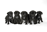 Five Black Pug Puppies (6 Weeks Old) Photographic Print