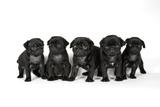 Five Black Pug Puppies (6 Weeks Old) Photographic Print