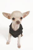 Short-Haired Chihuahua in Studio Wearing T-Shirt Photographic Print