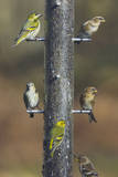 Siskins and Redpolls (Carduelis Flammea) at Niger Photographic Print