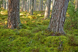 Pine Forest Tree Trunks Photographic Print