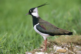 Lapwing Male in Breeding Territory Photographic Print