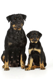Rottweiler Sitting Next to Rottweiler Puppy Photographic Print