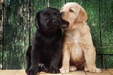 Black and Yellow Labrador Dog Puppies by Barn Door Photographic Print