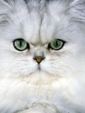 Persian Chinchilla Cat Photographic Print