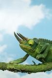 Jackson's Chameleon on Branch Photographic Print