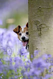 Jack Russell Looking around Tree in Bluebell Wood Photographic Print