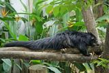 Binturong, Bearcat Lying on Tree Branch Photographic Print