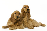 English Cocker Spaniel Puppies in Studio Photographic Print